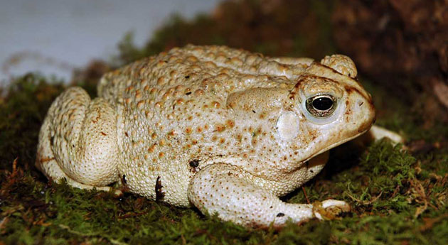 Image of a large, cream colored toad with darker spots on the back resting on moss on top of a branch.
