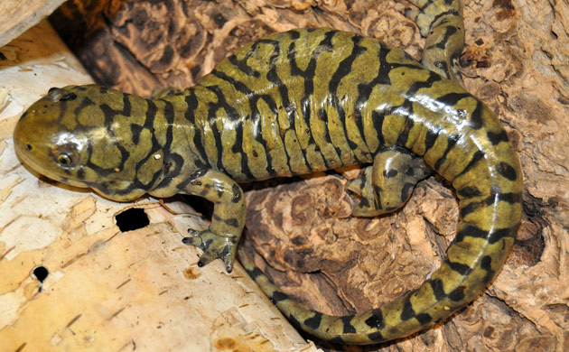 Salamander Information | Salamander Fun Facts | Reptile Gardens