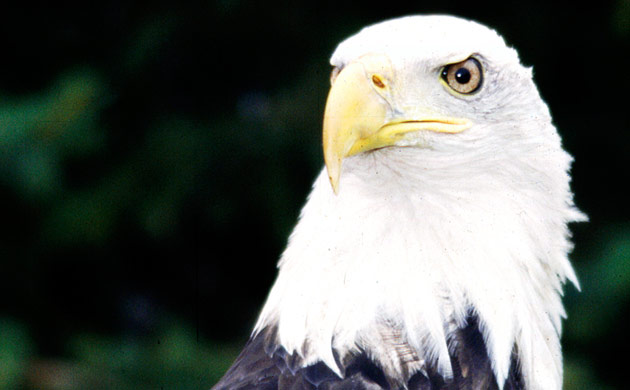 Cheyenne the Bald Eagle