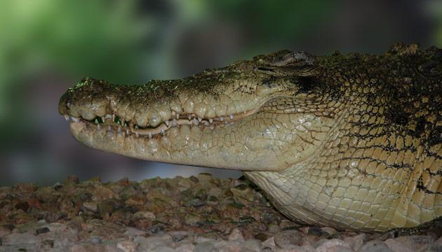 Giant Nile Crocodile