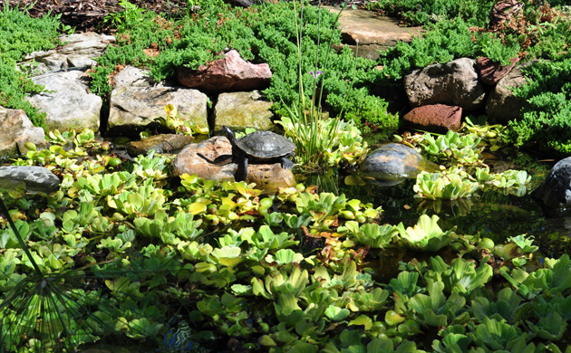Image of lush greens, tropical plants, and a turtle at the Koi pond at Tortuga Falls.