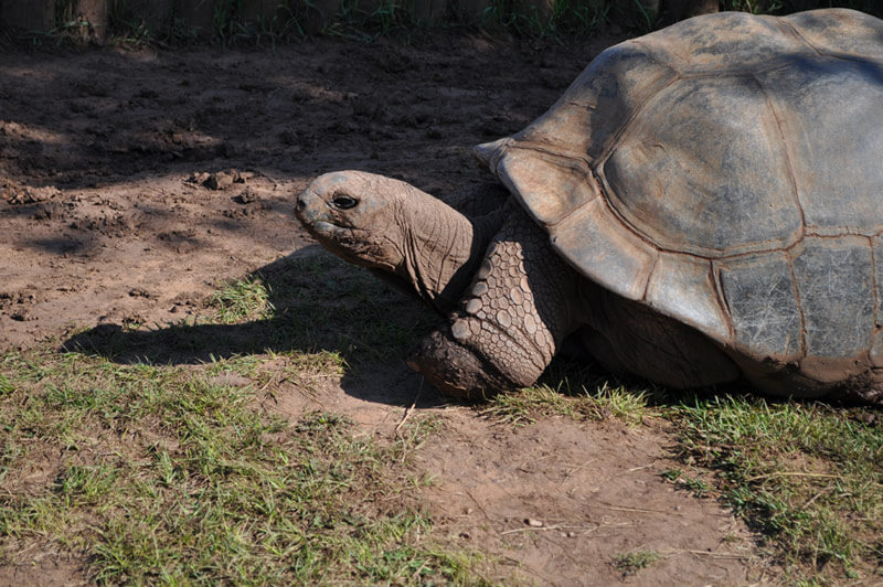 Image of a giant tortoise resting on a patch of grass at Reptile Gardens.