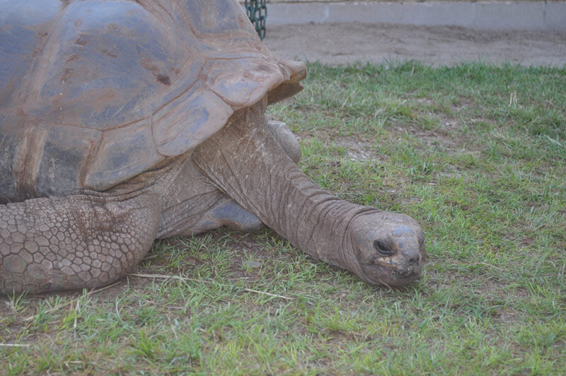 Image of a giant tortoise laying on grass at Reptile Gardens.