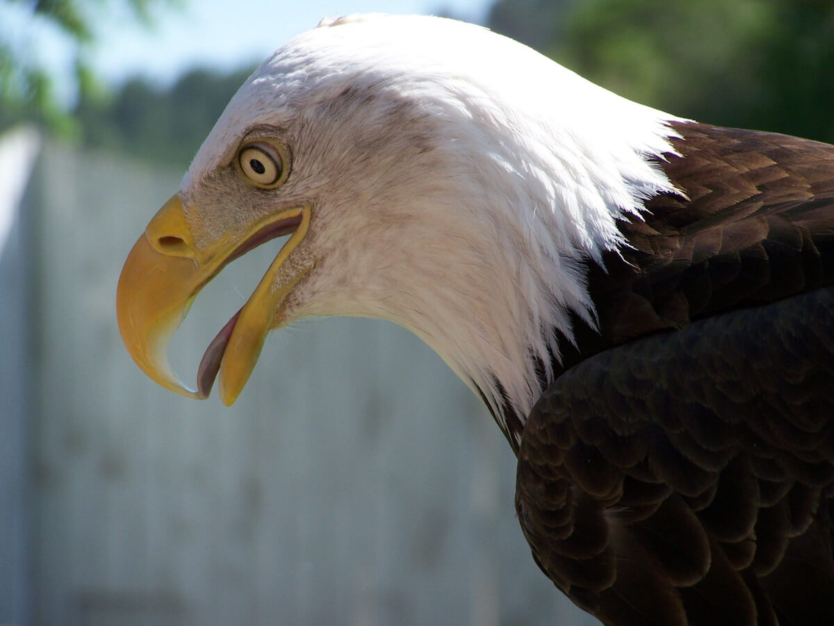 Image of a bald eagle with it's beak open and tongue slightly sticking out.