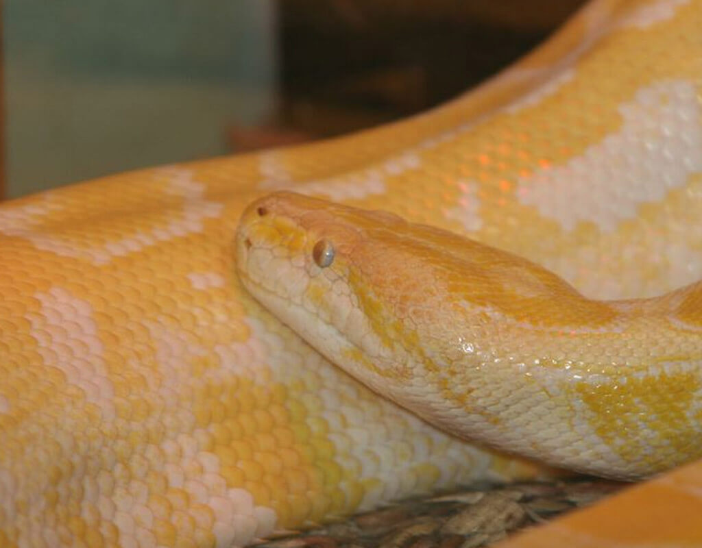 Image of a yellow and white python coiled up on the ground.