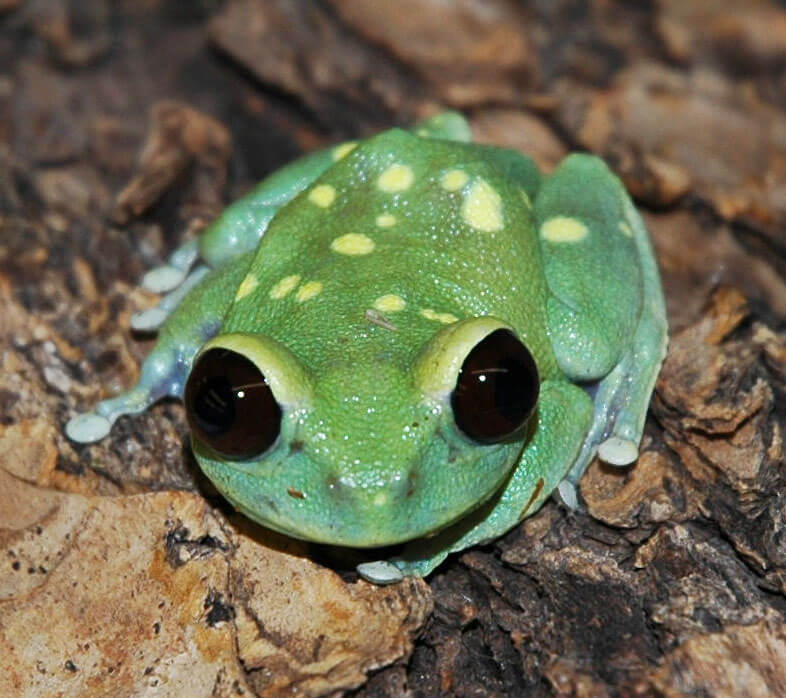 Image of an alien tree frog sitting on top of bark looking straight at the camera with its large, black eyes.