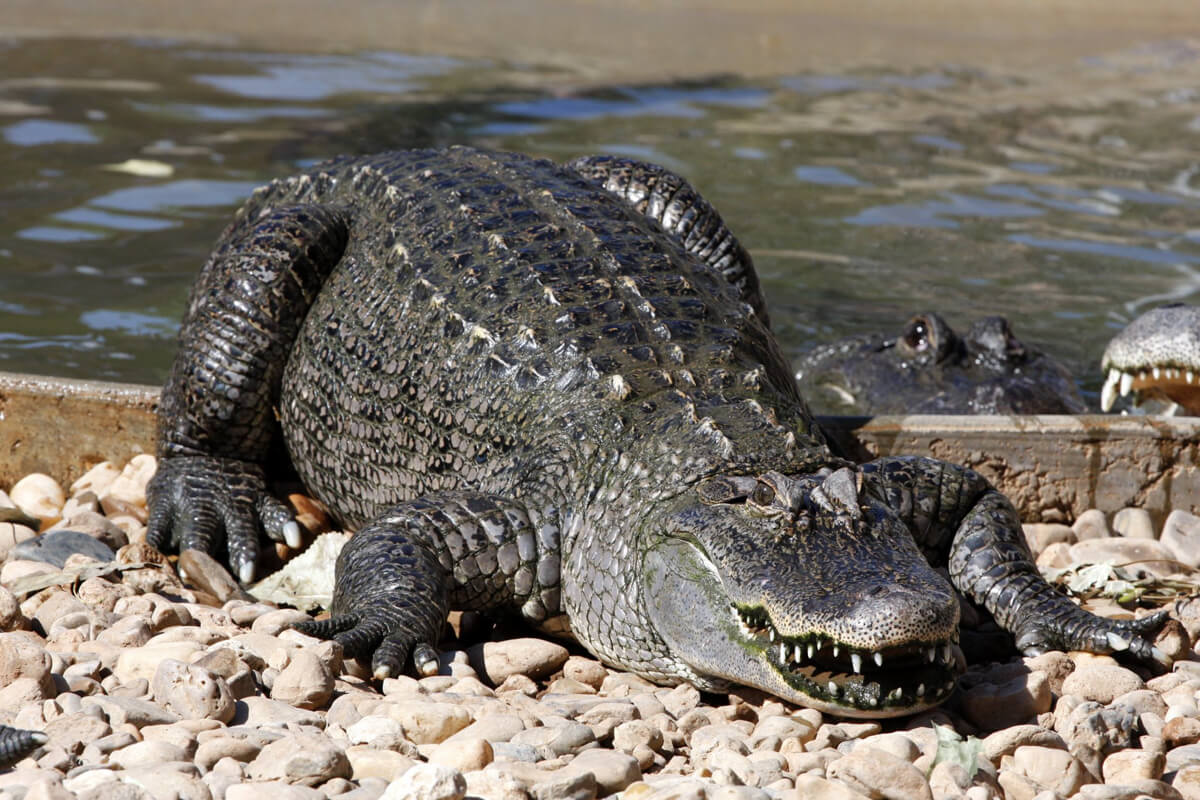 Image of a large crocodile coming out of a pond and laying on rocks.