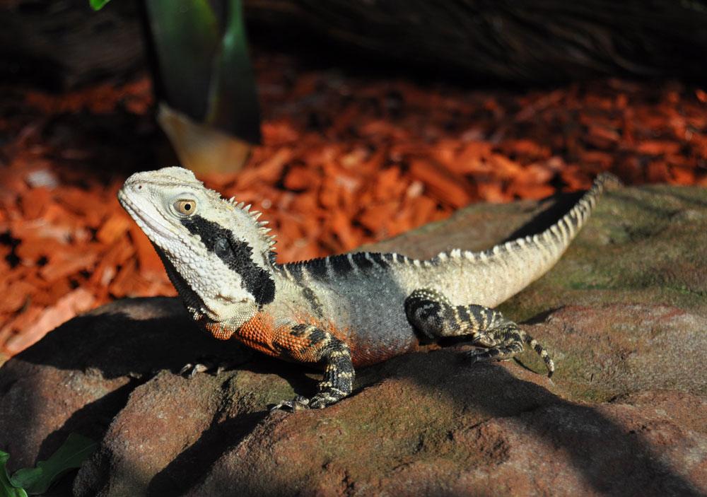 Australian Water Dragon: Types Of Lizards