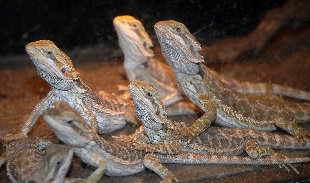 Image of 6 lizards all variously laying on top of each other.