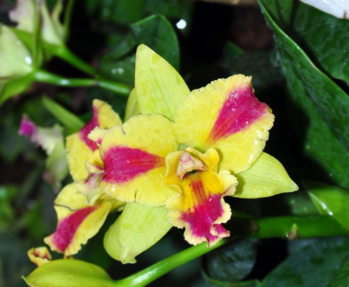 Burana Orchid