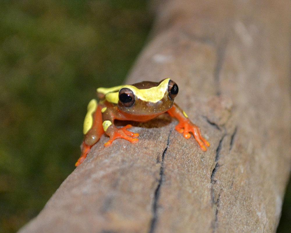 Clown Frog