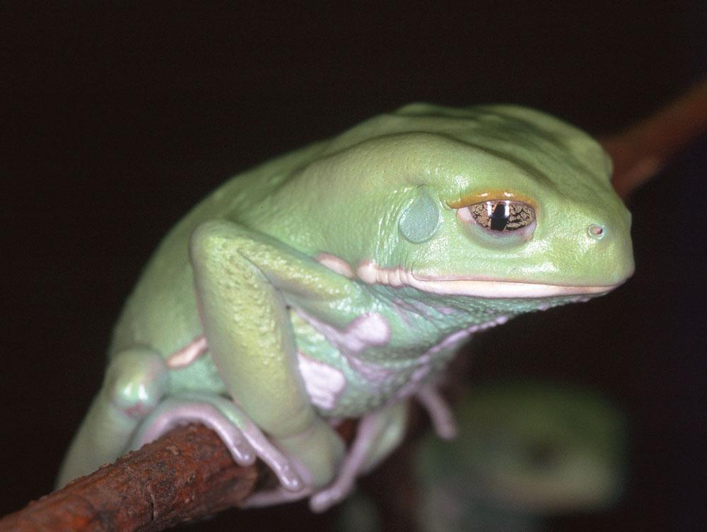 Dumpy Tree Frog