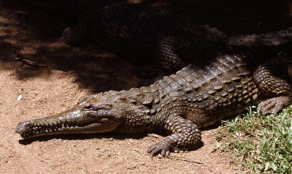 Alligator | Crocodilian | Reptile Gardens | Reptile Gardens