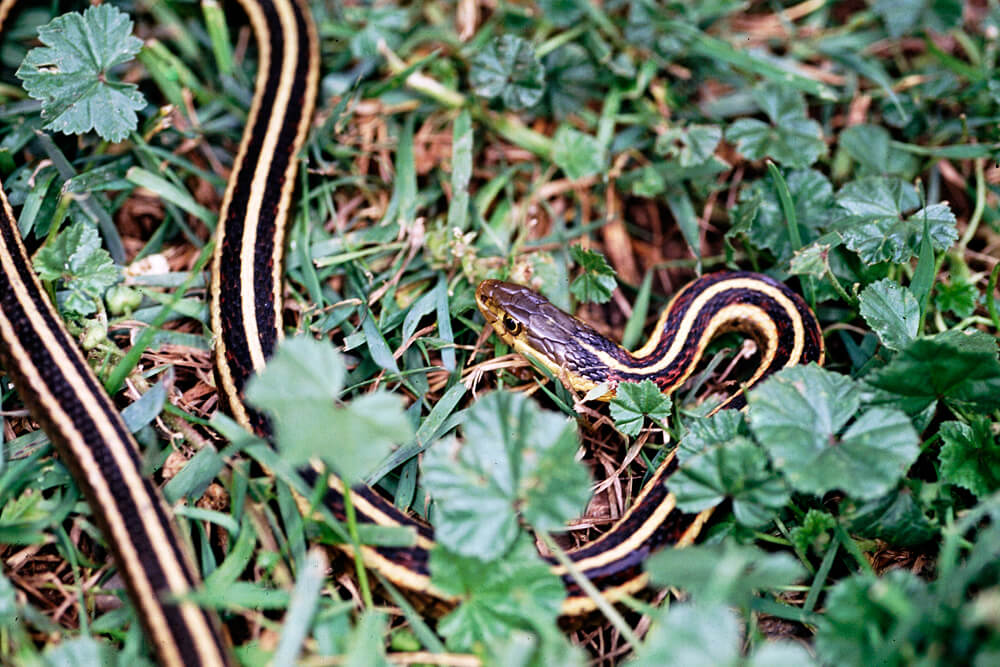 Image of a black snake with three white lines running length wise on its body in grass and weeds.