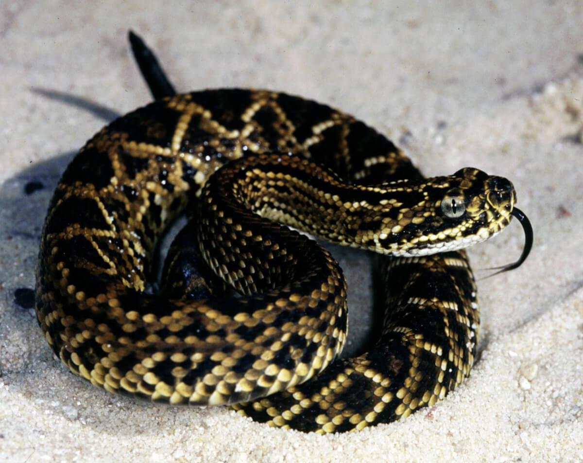 Juvenile Cascabel Rattlesnake