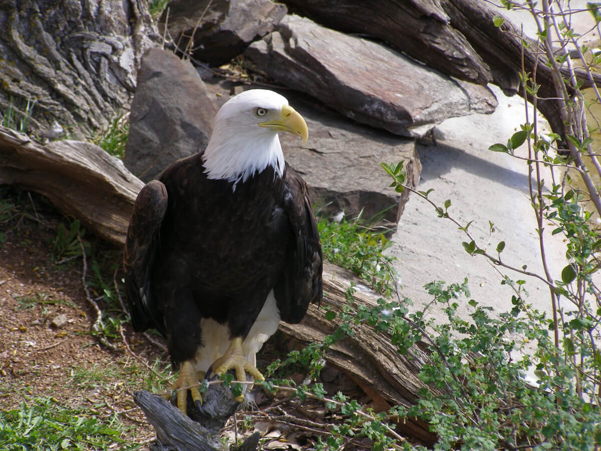 Image of Cheyenne the Bald Eagle perched on a fallen tree limb.