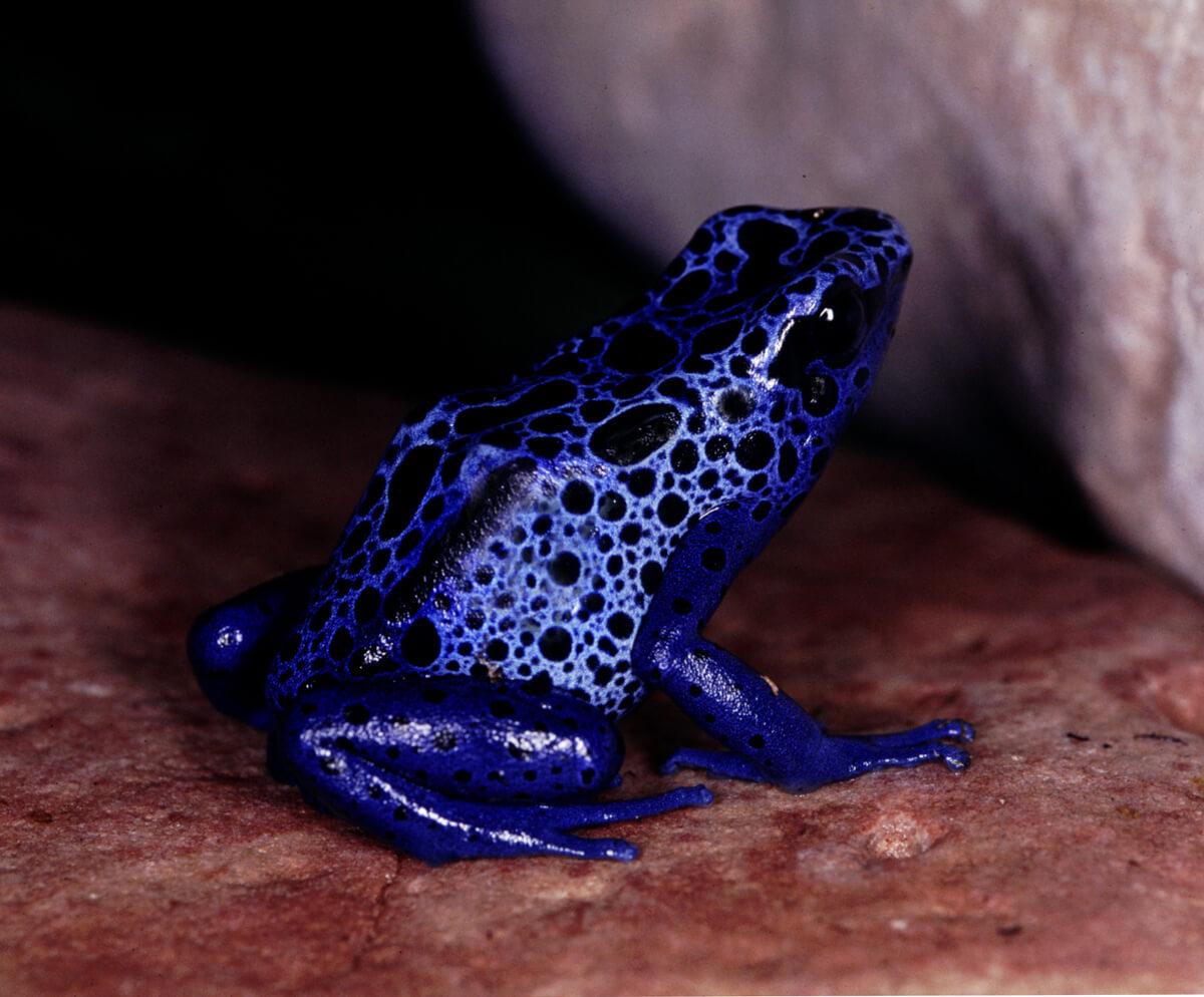 Poison Arrow Blue