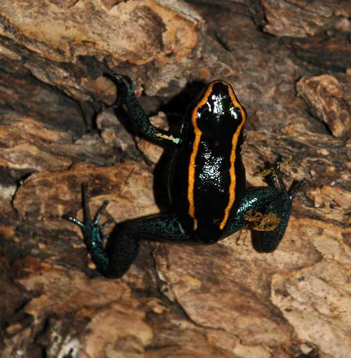 Poison Arrow Dendrobates