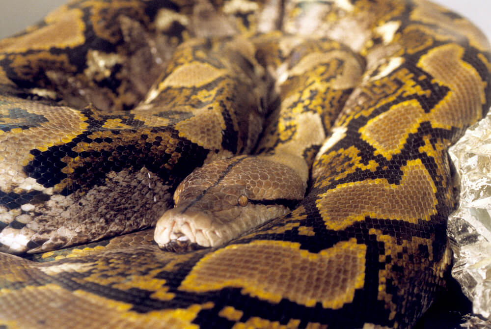 python-reticulated.jpg