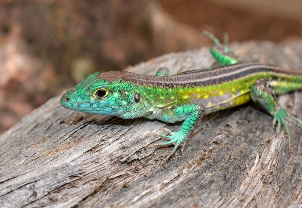 Rainbow Lizard