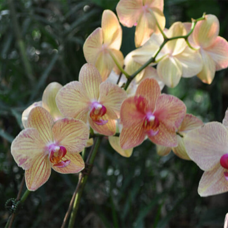Orchid-003