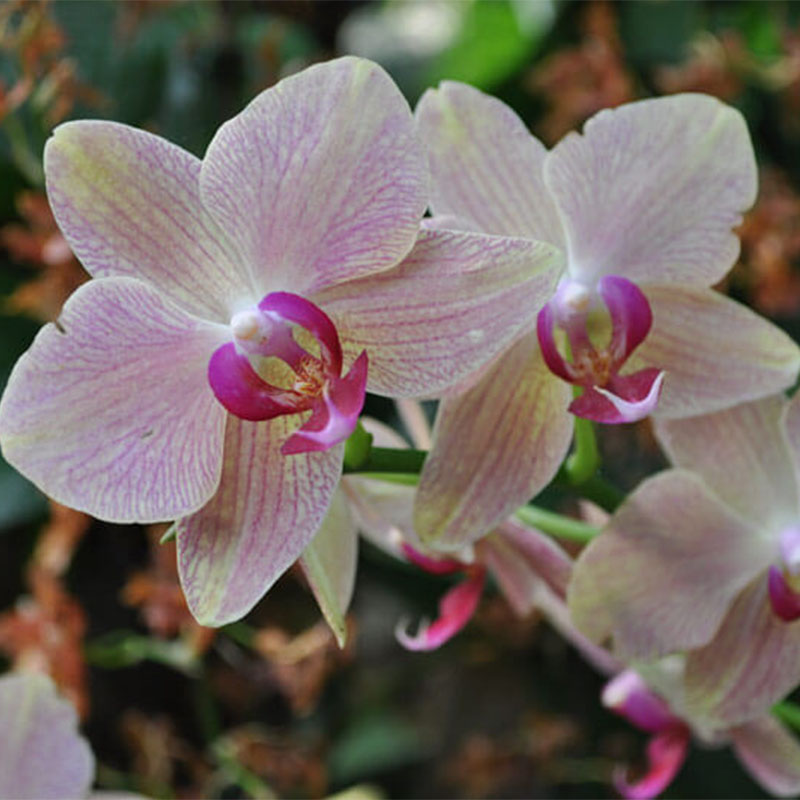 Orchid-012
