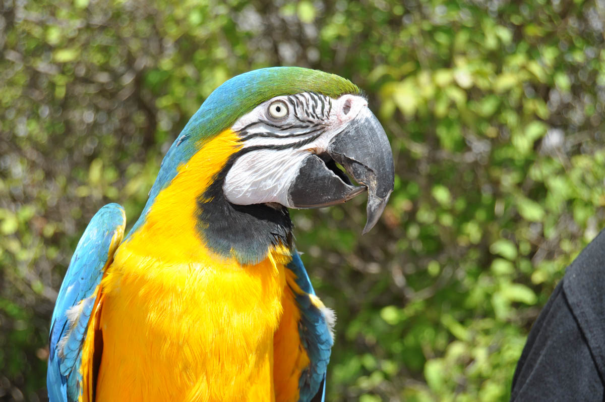 Bird Show - Blue and Gold Macaw