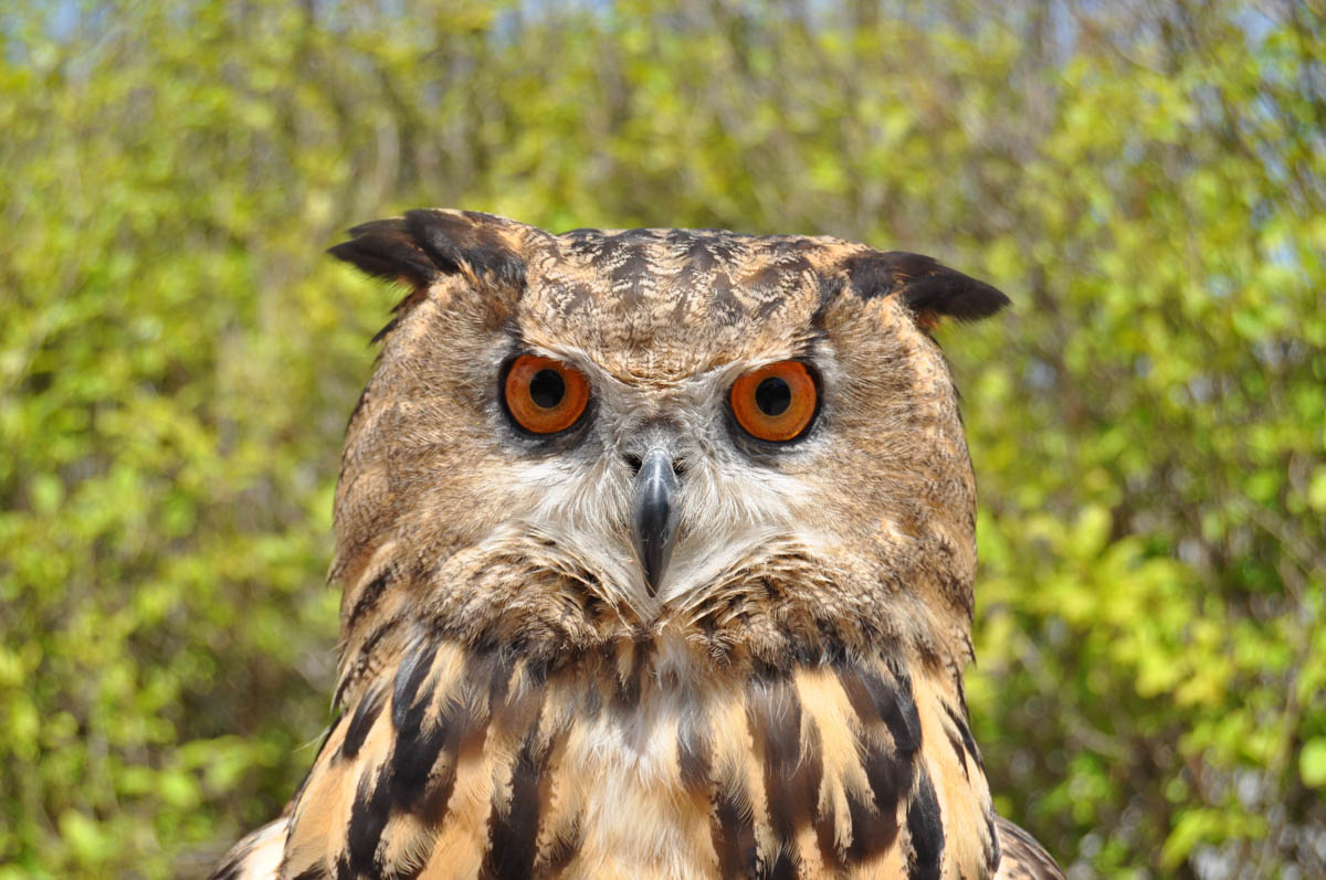 Bird Show - Eagle owl
