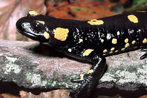 Image of a black salamander with yellow spots laying on a rock.