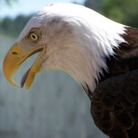 Cheyenne the Bald Eagle Close up