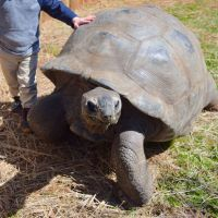 Samson the Giant Aldabra Tortoise