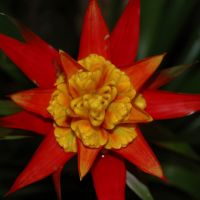 Red and Yellow Bromeliad