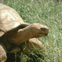 Methuselah, the Giant Galapagos Tortoise