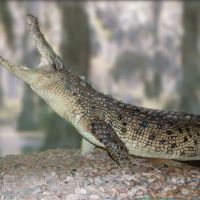 Saltwater Crocodile--Maniac