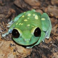 Alien Tree Frog