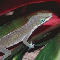 American Anole
