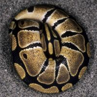 ball-python-tight-ball.jpg