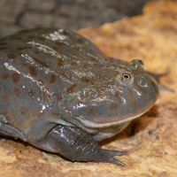 Budgetts Frog