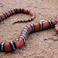 california-kingsnake.jpg
