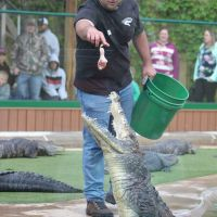 Gator leaps up for food