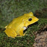 Eyelash Frog