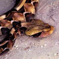 West Africa Gaboon Viper