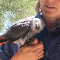 African Grey Parrot at Bird Show