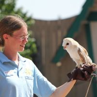 Willow the European Barn Owl