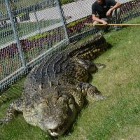 Maniac the Giant Crocodile