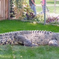 Maniac the Giant Crocodile
