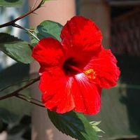 Hibiscus-001