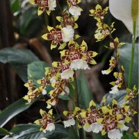 Orchid-006