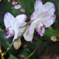 Orchid-015