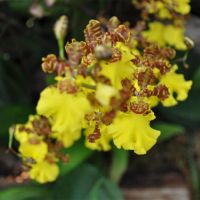 Orchid-016